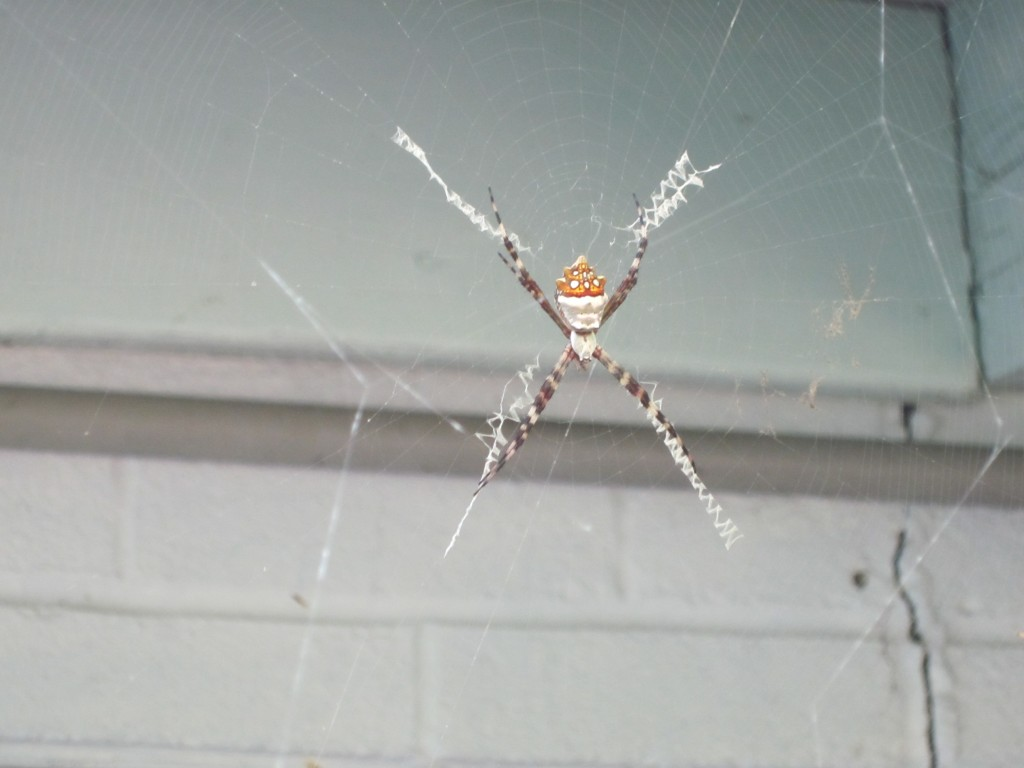 Anybody know what kind of spider this is?